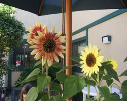 Sunflowers offer a cheerful welcome to Lincoln Glen Manor