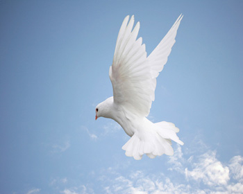 Photo of white Dove on blue sky
